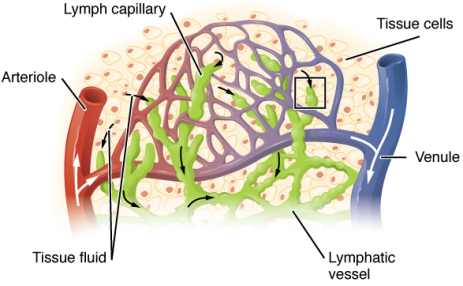 2202_Lymphatic_Capillaries_big
